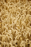 Image of wheat field - the most commonly consumed grain